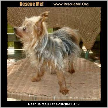 yorkie rescue orlando 60 best images about adopt special needs animals on chihuahuas theater