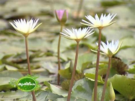 Lotus Vs Water Cultivation Of Water And Lotus On A Large Scale