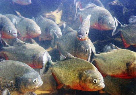 amazon fish 10 terrifying creatures of the amazon river listverse