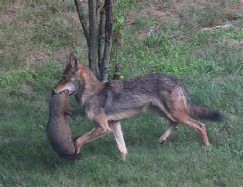 coyote attacks 44 best images about coyote attacks on our pets on humans on coyotes a