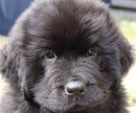 newfoundland puppy price newfoundland puppies price in india breeds picture