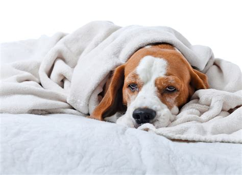 sick dogs remedies for upset stomach in dogs petmd