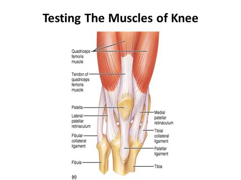 Knee Ankle knee muscles craftbrewswag info