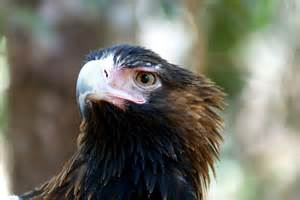 wedge tailed eagle land