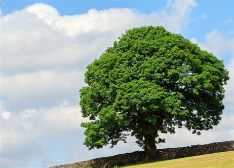 pictures of trees tree in summer free stock photo public domain pictures
