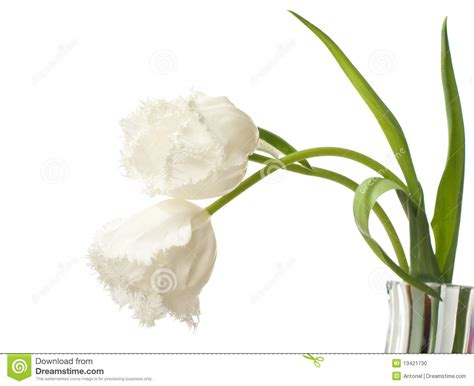 lovely white two lovely white tulips stock photo image 13421730