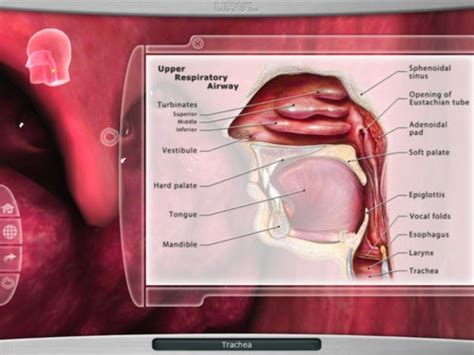 Tang Krone Rrt Non Packing 123 best images about respiratory system on respiratory system circulatory system