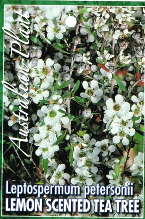 tag lemon scented tea tree leptospermum petersonii