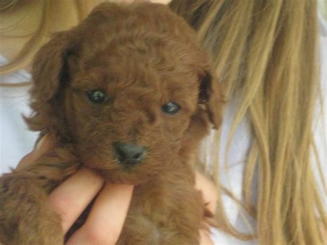goldendoodle bloomington indiana poodle puppies in indiana wow