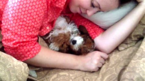 puppy sleeping in bed lil lucy the cutest yorkie poo puppy sleeping in bed