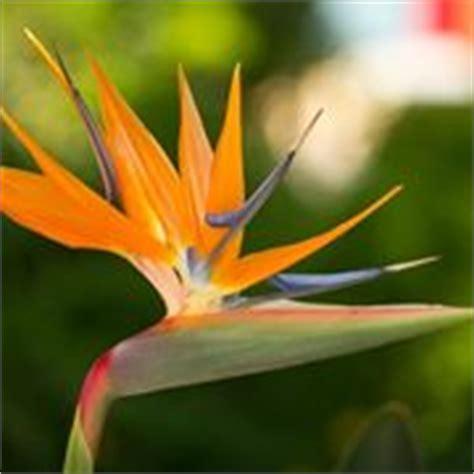 sterlizia fiore uccello paradiso strelizia alba strelizia alba