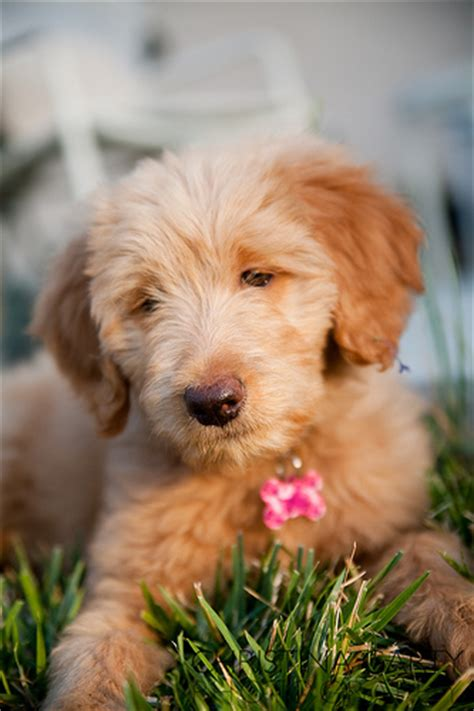 goldendoodle puppy checklist goldendoodle puppies goldendoodle puppy pictures