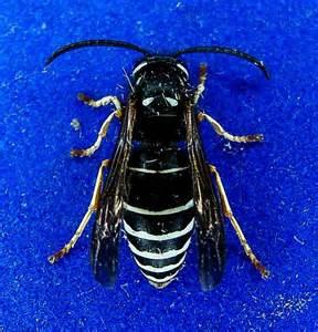 Black and white hornet 4 vespula consobrina bugguide net