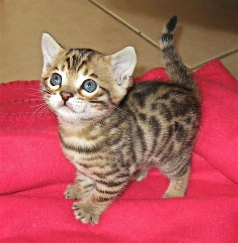 cat price 17 best ideas about bengal kittens on bengal