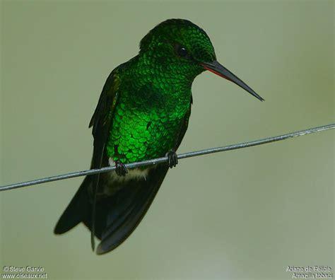 copper rumped hummingbird amazilia tobaci male adult