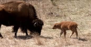 fluffy awkward baby buffalo are south dakota s born