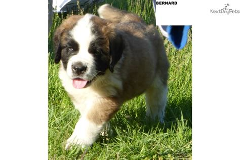 st bernard puppies for sale near me bernard st bernard puppy for sale near anchorage mat su alaska a8105aa3 eeb1