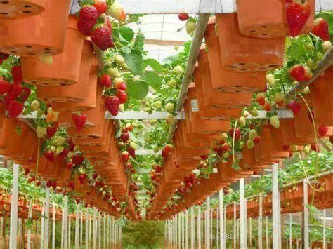 How to Plant Hanging Strawberries   Newsnish