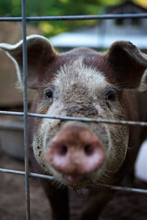how to raise pigs in your backyard 68 best images about raising pigs on pinterest