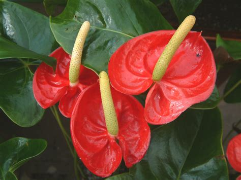 flowers india flower picture anthurium flower india