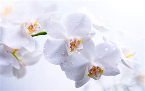 Benihbijibibit Bunga Tulip Blanc how to care for orchids flower inspirationseek