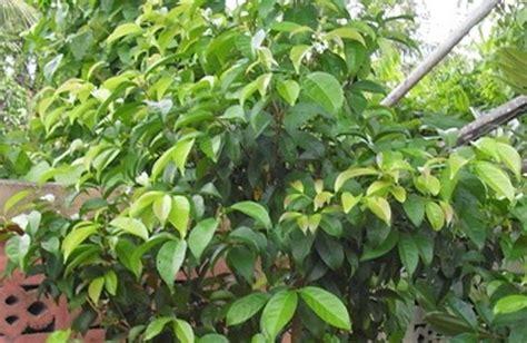 Khasiat Dasyat Dan Salam khasiat daun salam untuk obat kanker mengobati asam urat dan stroke