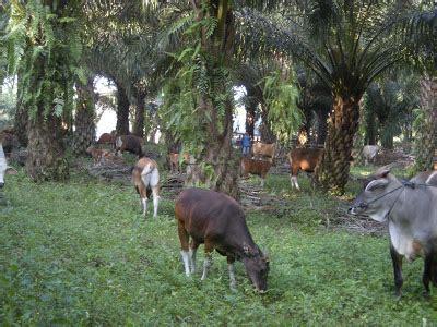 Agribisnis Ternak Sapi program ternak sapi sawit agribisnis co id