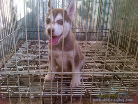 Jual Masker Mata Bandung dunia anjing jual anjing siberian husky jl husky