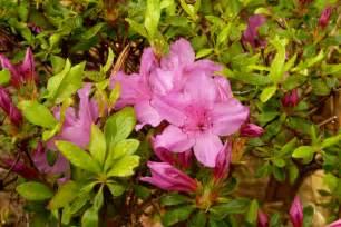 file japanese gardens flowers 1 jpg wikimedia commons