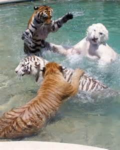 what color is a tiger all animals