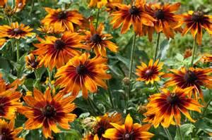 Flowers And Pollinators - file rudbeckia quot cappuccino quot 4874772117 jpg wikimedia
