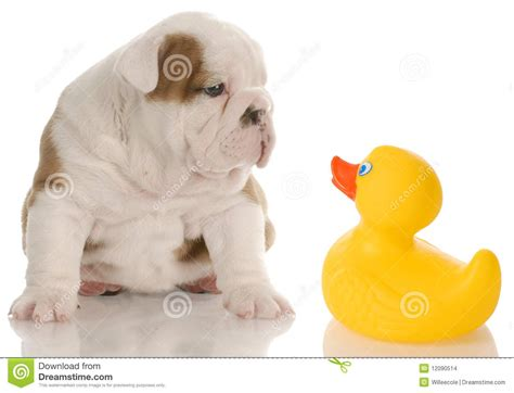 puppy bath time puppy bath time stock images image 12090514