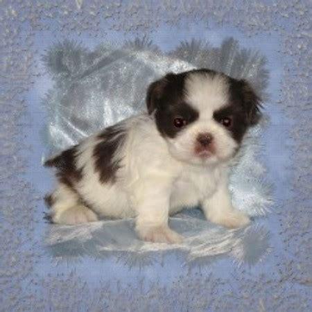 free puppies in utah eaglegate tiny shih tzu shih tzu breeder in riverton utah listing id 14958