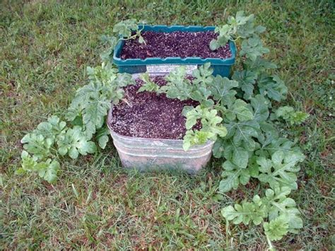 container gardening watermelon growing watermelon in containers thriftyfun