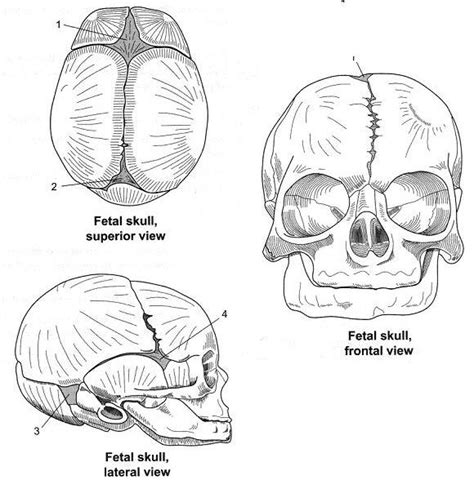 free coloring pages of axial skeleton