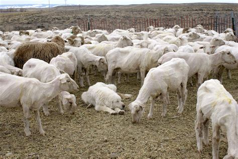 sheep guard dogs 12 to raising successful livestock guardian dogs premier1supplies sheep guide