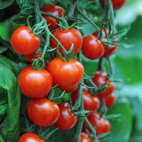 mt rugged magical seed tomato mountain magic f1 tomato premier seeds direct ltd