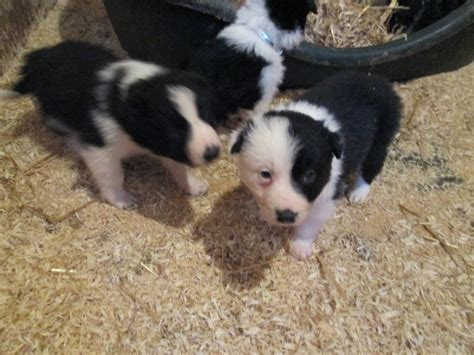 border collie puppies ohio border collies picture virginia