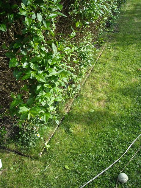 privet hedge maintenance 171 andysworld