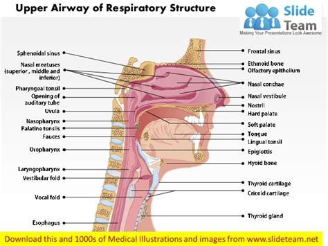 intubation diagram airway of respiratory structure images for