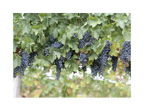 best climbing plants for pergola climbing plants for a pergola fence or arbor my garden and home