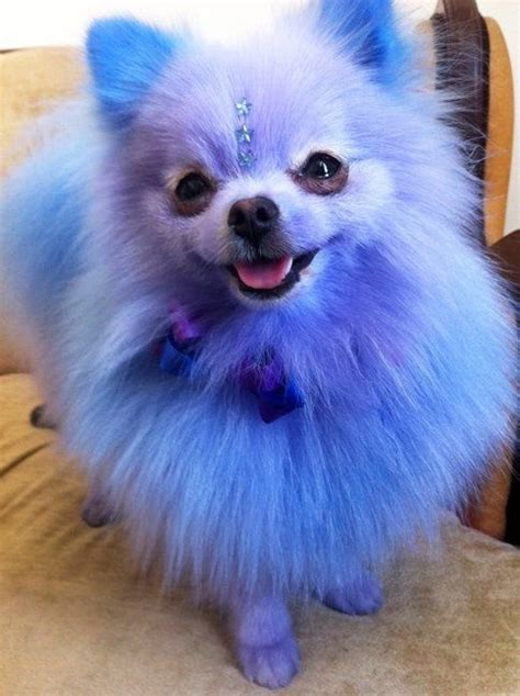 blue pomeranian puppies blue pomeranian scary but still fluffy dyed dogs dyes so