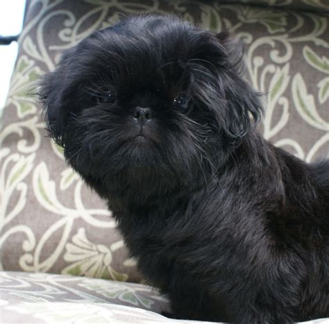 black maltese shih tzu puppies for sale 25 best ideas about shih tzu maltese mix on bichon shih tzu mix yorkie