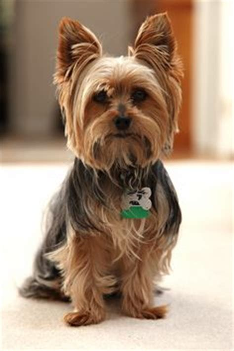 difference between yorkie and terrier difference between silky terrier and terrier breeds picture