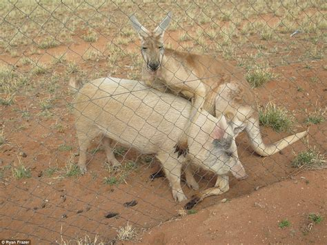 hombre con cerdas kangaroo photographed having sex with a pig in the