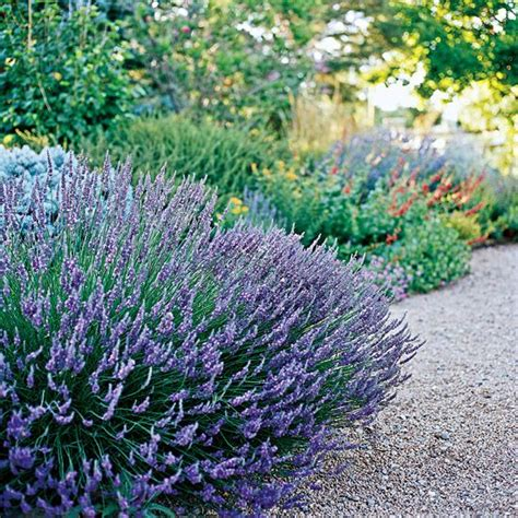 the best drought tolerant perennials gardens sun and summer