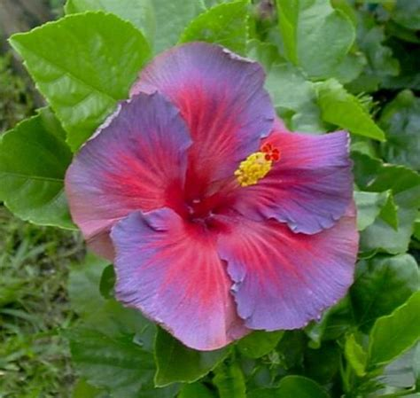 blue and purple hibiscus flower spotted pink hibiscus