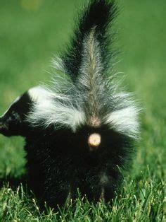 Sprei Grow Animal Dude American Hog Nosed Skunk Conepatus Leuconotus Is A
