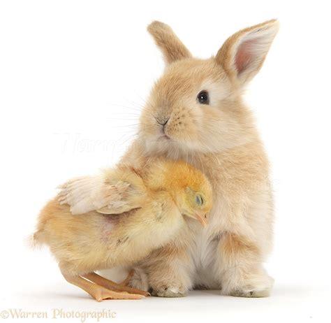 cute rabbits and chicks cute sandy bunny and yellow bantam chick photo wp39154