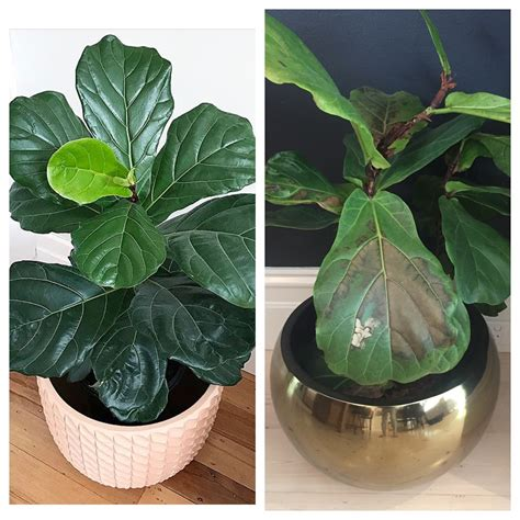 how to keep a fiddle leaf fig alive and happy fiddle this is how to keep a fiddle leaf fig alive